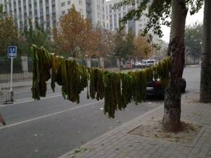 Hanging Kale